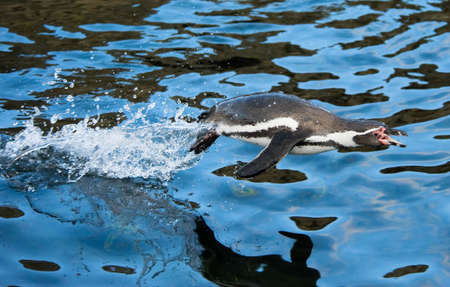 close-up of a penguin jumping out of water photo