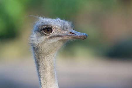 curiousness: close up of an ostrich