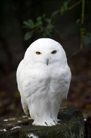 snowy owl: portrait of a beautiful snow owl (Bubo scandiacus)
