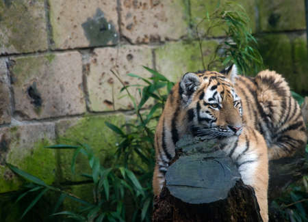 portrait of a beautiful tiger Stock Photo - 3978837