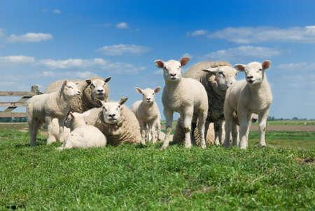 animalitos tiernos: ovejas y corderos en la primavera de