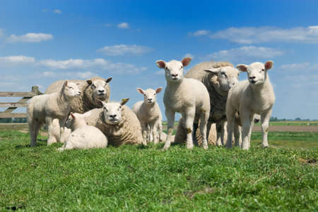 sheeps and lambs in spring photo