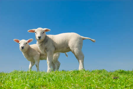 cute and curious lambs in spring photo