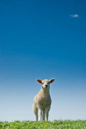 cute and curious lamb in spring