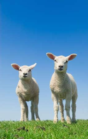 cute sheep: cute and curious lambs in spring