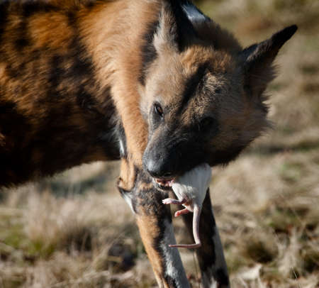 lycaon pictus: African wild dog (Lycaon pictus) eating a rat Stock Photo