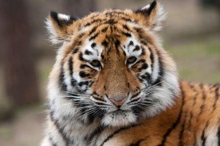 close up of a cute Siberian tiger cub (Panthera tigris altaica) photo