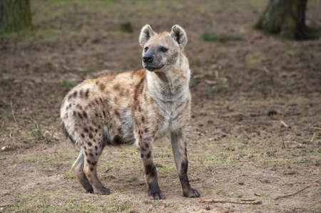 voracious: Close-up of a spotted hyena Stock Photo