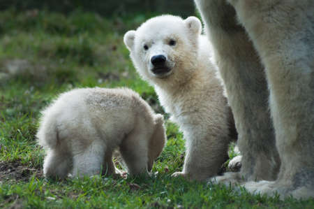 wet bear: close-up of a polar bear and her cute cubs