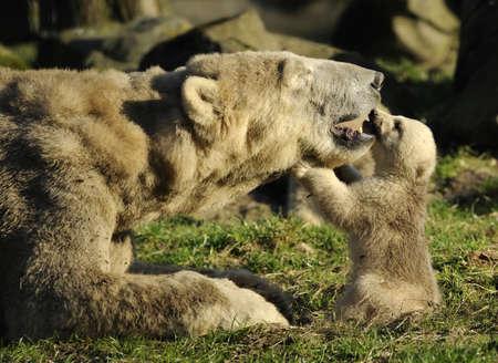 close-up of a polar bear and her cute cub Stock fotó