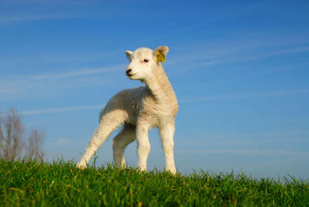 cute lamb in spring, The Netherlands Stock Photo