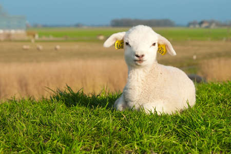 spring lambs: cute lamb in spring, The Netherlands Stock Photo