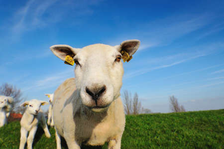 naivety: cute lambs and mother sheep in spring, The Netherlands Stock Photo
