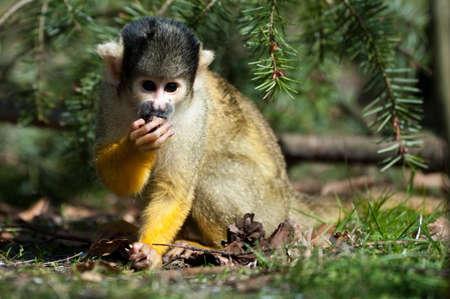 sciureus: cute squirrel monkey (Saimiri) subfamily: saimiriinae Stock Photo