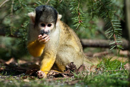 cute squirrel monkey (Saimiri) Unterfamilie: saimiriinae