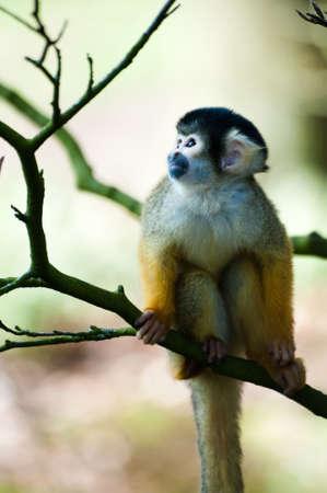 cute mono ardilla (Saimiri) subfamilia: saimiriinae