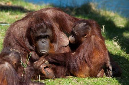 orangutan giving milk to her baby photo