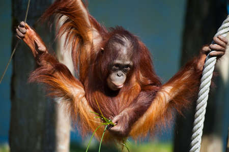 baby monkey: cute orangutan having fun