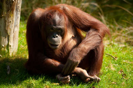simian: cute orangutan on the grass Stock Photo