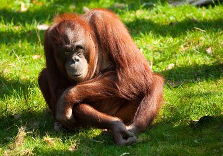 hominid: cute orangutan sul prato