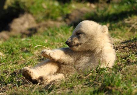 polar life: cute polar bear cub on the grass