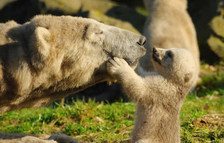 wet bear: close-up of a polar bear and her cute cub Stock Photo