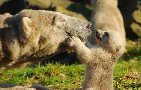 close-up of a polar bear and her cute cub Standard-Bild