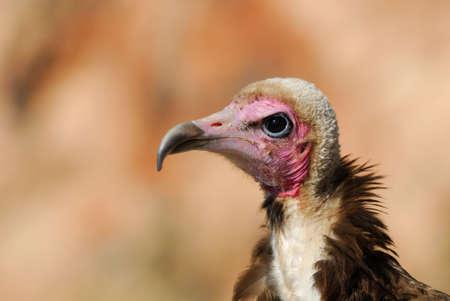 scavenge: Close-up of a Hooded Vulture, Necrosyrtes monachus