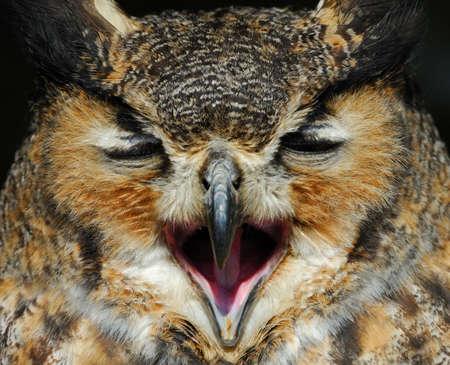 close-up of a beautiful Eagle Owl (bubo bubo) photo