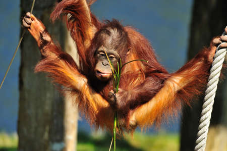 simian: cute orangutan in a funny position