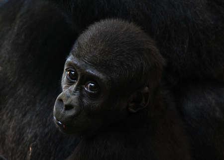 close-up de aa cute bebé gorila