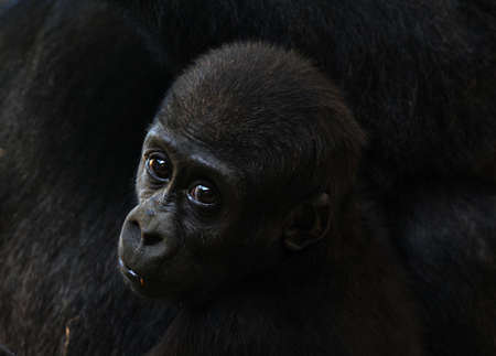 Close-up von aa Cute Baby Gorilla Standard-Bild - 4650583
