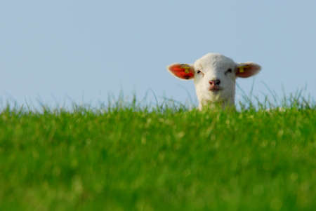 funny image of a cute lamb in spring photo