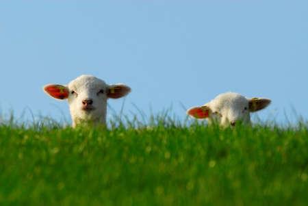 divertida imagen de un lindo corderos en la primavera de