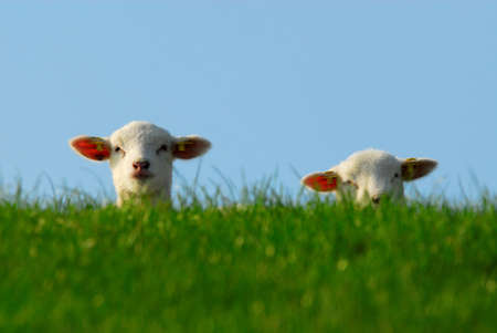 spring lambs: funny image of a cute lambs in spring