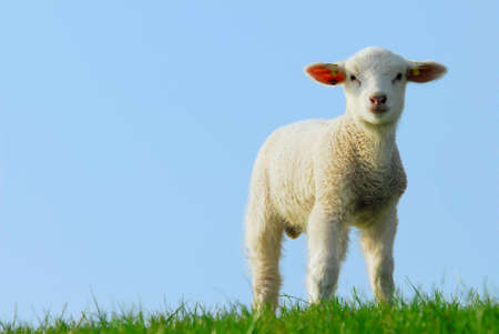 naivety: cute lamb in spring, The Netherlands Stock Photo