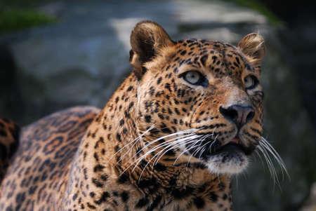 close-up de un hermoso leopardo
