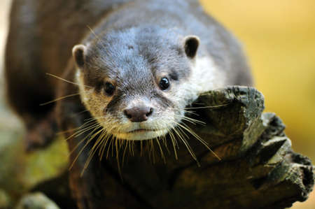 aonyx: Oriental Small-clawed Otter (Aonyx cinerea), also known as Asian Small-clawed Otter Stock Photo