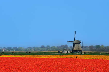 colorful field of tulips and windmill in the Netherlands Stock Photo - 4712232
