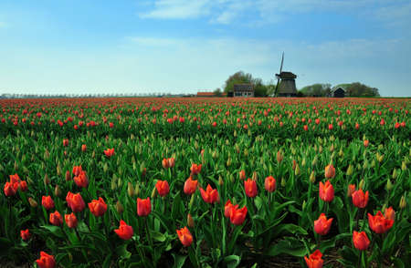 colorful field of tulips and windmill in the Netherlands Stock Photo - 4712223