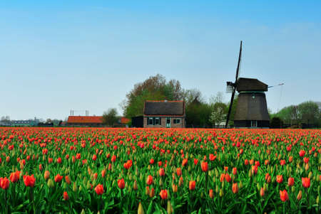 colorful field of tulips and windmill in the Netherlands photo