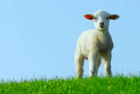cute lamb in spring, The Netherlands photo