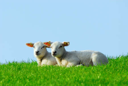 naivety: cute lambs in spring, The Netherlands