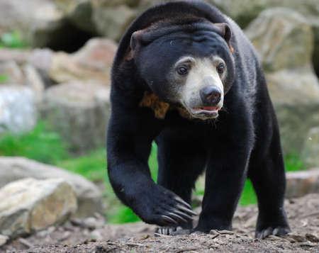 Cerca de un oso malayo Domingo (Helarctos malayanus)