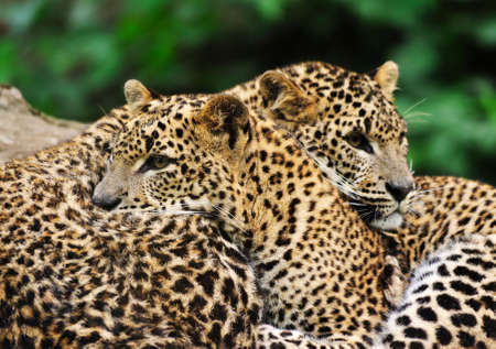 Sri Lanka Leopard (Panthera pardus kotiya) Stock Photo