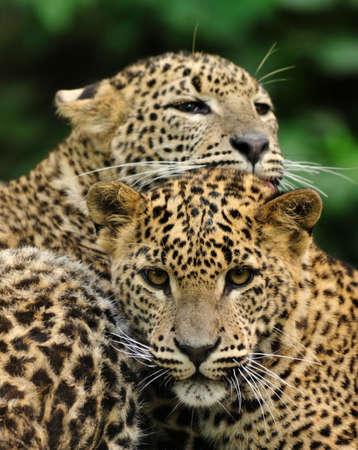 endangered species: Sri Lanka Leopard (Panthera pardus kotiya) Stock Photo