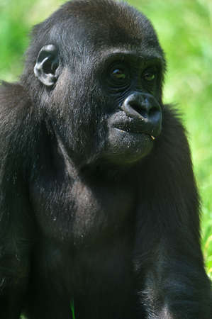close-up of a cute baby gorilla  Stock Photo - 4903628
