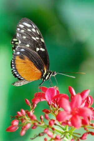 danaus: Monarch butterfly  (Danaus plexippus) on a flower in summer