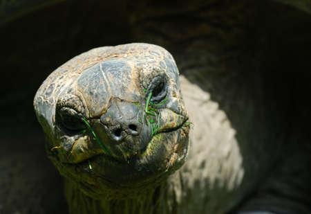 gigantea: Aldabra Giant Tortoise (Geochelone gigantea)