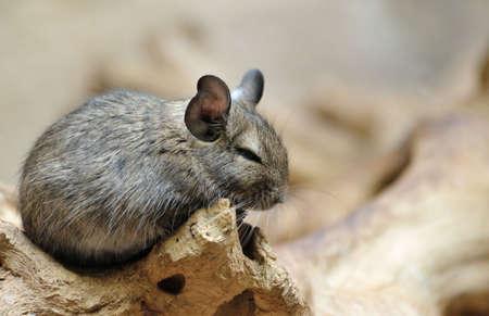 Cute chinchilla (Chinchilla lanigera) Stock Photo